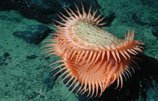Dandelion Siphonophores