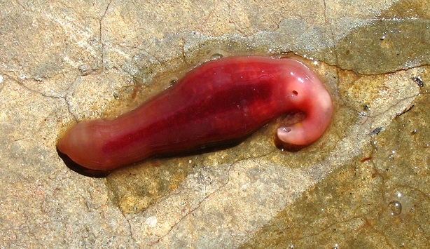 Commom flatworm that is not parasitic