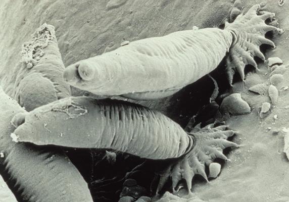 platyhelminth monogeneans