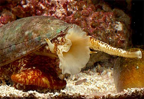 the lethal venom of the cone snail Add to the lethal list of box jelly fish, blue ringed octopus, fugu and the always popular great white shark, the beautiful but deadly cone snails cone snails are predatory animals, stinging .