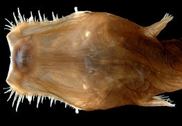 Wolf Trap Anglerfish The Deep