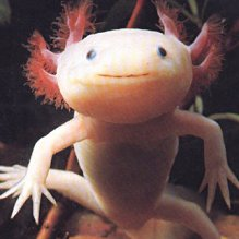 "The image ""http://www.bogleech.com/pkmn-axolotl.jpg"" cannot be displayed, because it contains errors."